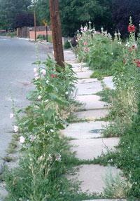 Hollyhockssidewalk3